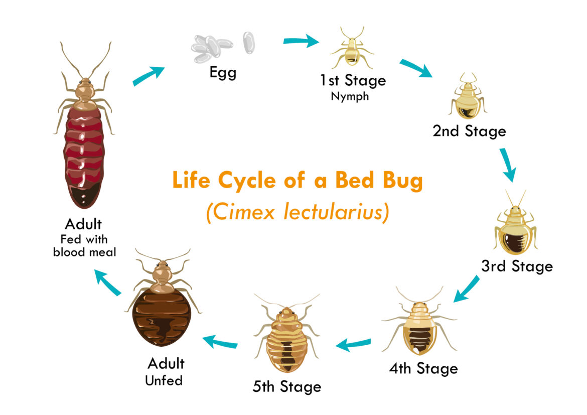 Life Cycle Of A Bed Bug (Cimex lectularius)