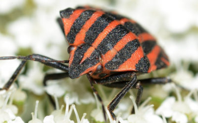 How to Identify Bedbugs and Get Rid of Them